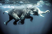 """Swimming elephants in the Andaman Islands<br /> <br /> The Andaman islands are a piece of India sparkled in the Bay of Bengal long closed to foreigners. A thousand kilometers from the coasts of the Indian subcontinent, this archipelago of over 500 isles -of which 27 are inhabited- are covered year-round in dense tropical vegetation. Elephants are used here in the timber industry and enjoy a swim when they are displaced from one island to another.<br /> <br /> Indians call this archipelago """"kala pani"""" or """"dark waters"""". But the Andaman islands, set in the green waters and limpid waves of the Bay of Bengal, hardly deserve this foreboding description. Closer to Burma and to Indonesia than to India, the Andamans were originally peopled by Negritos, an Asian pygmy tribe living as in the Neolithic Age. The islands were converted into a penitentiary locality by the British in 1857, date of the """"sepoy rebellion"""" which claimed many English lives in Lucknow, India.<br /> <br /> The Andamans were opened to Indian immigration after independance in 1947. But the door was kept closed on many islands to preserve the lifestyle of the original inhabitants. To this day, tourists are allowed only into the capital, Port Blair, and to the islands of Jolly Buoy and Cinque.<br /> <br /> Forested lands cover three-quarters of the 4,000 square kilometers or so which comprise the islands, featuring varieties from Burma, Indonesia and India. Settlers include exiled Karens from Burma, Bengali Hindus who fled the former East Pakistan in the Sixties and immigrants from Bihar, India and Malaysia.<br /> <br /> Most of this population of 200,000 thrive from the timber industry and enjoy the precious help of elephants to transport cut wood. A most environment-friendly means of moving timber which avoids having to build roads through forested land. Despite their 4,5-ton mass, the elephants are able to move on jungle tracks with ease.<br /> ©Olivier Blaise/Exclusivepix"""