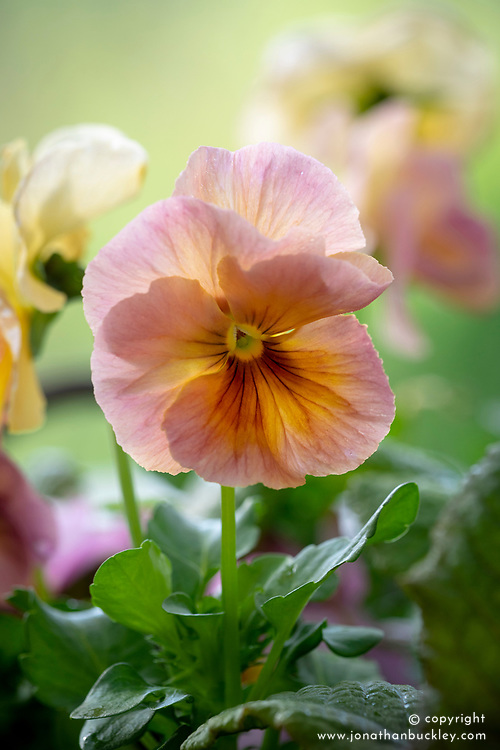 Pansy 'Mystique Peach Shades'