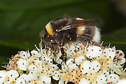 Side view of a white tailed bumblebee (Bombus lucorum), with two mites visible.