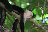 03: PACIFIC CAPUCHIN MONKEYS