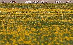 THEMENBILD - Kühe auf einer Weide beim grasen, aufgenommen am 10. Mai 2017, Kaprun, Österreich // Cows grazing on a pasture at Kaprun, Austria on 2017/05/10. EXPA Pictures © 2017, PhotoCredit: EXPA/ JFK