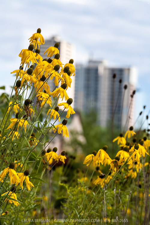 Cutleaf Coneflower (Rudbeckia laciniata) in a sunny meadow with highrise buildings in the background.