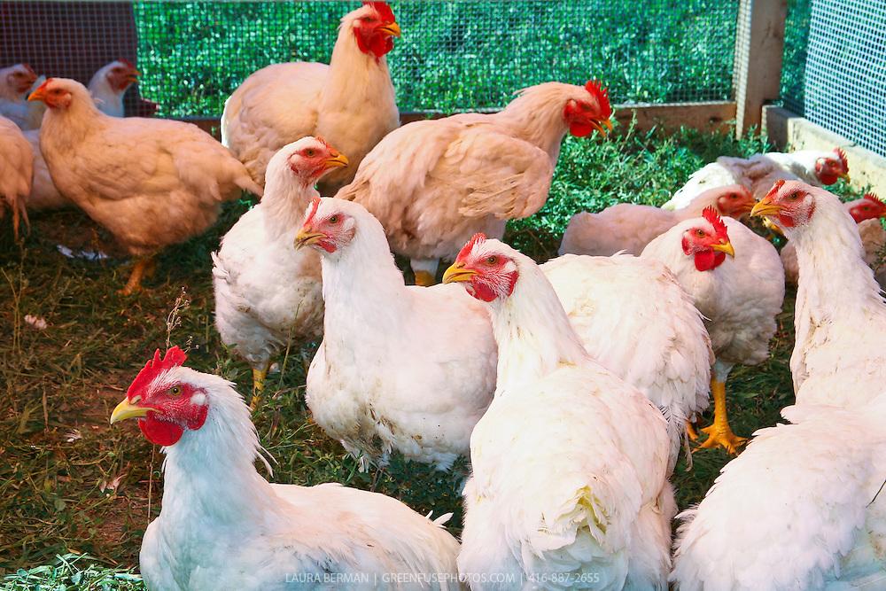 Naturally raised, organic chickens at the Harrison's farm in Bradford,  Ontario