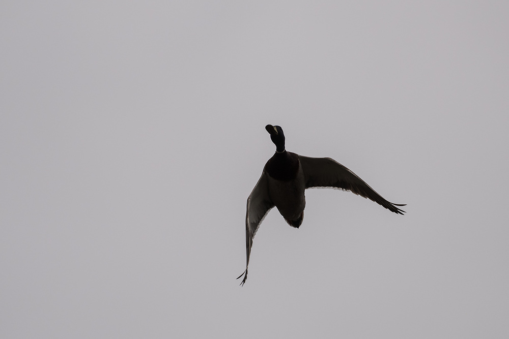 Mallard in flight, Mull, Scotland