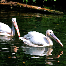 Pelicano-branco (Pelecanus onocrotalus). Registro feito em 2009. Animal em Cativeiro.<br /> <br /> <br /> <br /> <br /> <br /> <br /> ENGLISH: great white pelican. Picture made in 2009. Captive animal.
