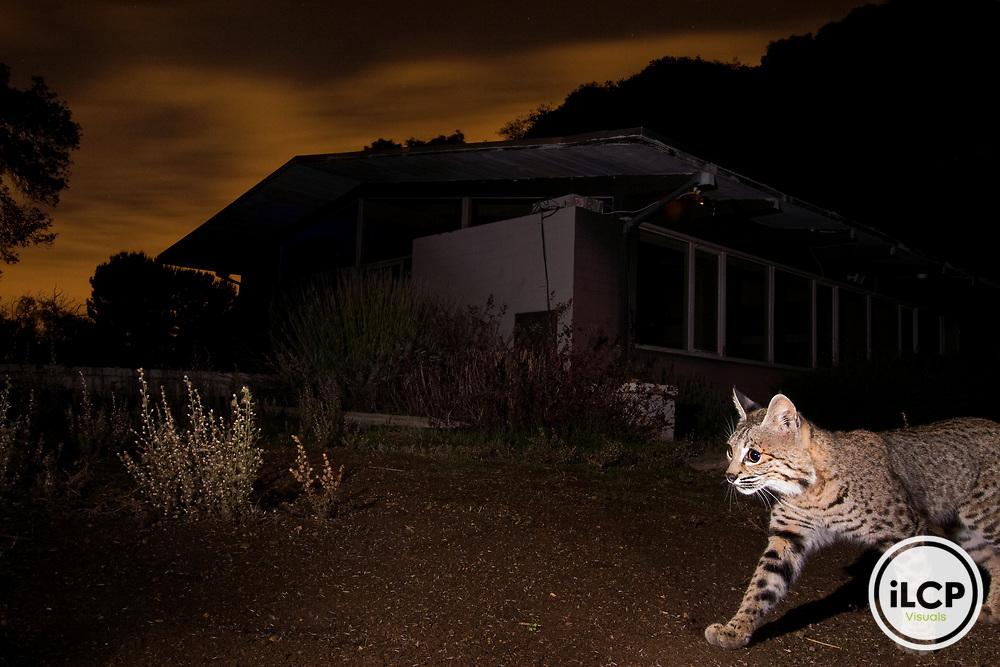 Bobcat (Lynx rufus) sub-adult walking in backyard at night, Los Altos, Bay Area, California