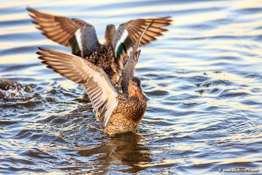 Northern Shoveler ducks stretch their wings at Pea Island on the Outer Banks.