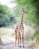 Giraffes*