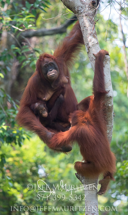 A mother Bornean orangutan hangs in a tree with its juvenile and infant children in Tanjung Puting National Park, Indonesia.