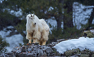 Female Mountain Goat standing on the edge of the mountain