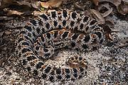 Pigmy Rattlesnake (Sistrurus miliarius)<br /> CAPTIVE<br /> Northern Georgia<br /> USA<br /> Endemic to USA<br /> HABITAT & RANGE: Coastal plains, sandhills, pine forests to wet or seasonally flooded forests.