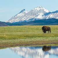 bull bison reflection above lake on blackfeet reservation, glacier national park, summit mountain background