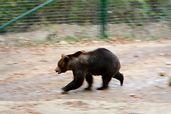 ROMANIA ZARNESTI 27OCT12 - Rescued Eurasian brown bear Jexy paces up and down at the Zarnesti Bear Sanctuary in Romania, funded by WSPA...With over 160 acres (70 hectares) spread over a wooded hillside, it is Romania's first bear sanctuary and today houses 67 bears rescued from ramshackle zoos and cages at roadside restaurants.......jre/Photo by Jiri Rezac / WSPA..© Jiri Rezac 2012