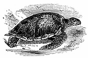 Green (Edible) Turtle - Chelonia mydas. Turtle meat was much prized.  Edible turtles were imported live into Europe as a table delicacy.  Wood engraving c1890.
