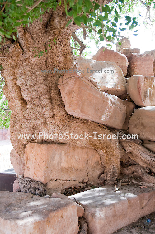Middle East, Jordan, Petra, UNESCO World Heritage Site. An Atlantic Pistachio (pistacia Atlantica) tree estimated to be more than 450 years old growing out of the carved stone wall