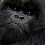 Mountain Gorilla (Gorilla beringei beringei) <br /> Virunga Volcanoes - Parc National des Volcans, Rwanda <br /> <br /> There is perhaps no more majestic or iconic animal among all of the endangered species than the mountain gorilla. Silverbacks like Ubumwe from the Amahoro Group in Parc National des Volcans are truly magnificent in stature and demeanor. The gorilla has fascinated people and captured our imaginations as long as we have been aware of its existence. The catastrophic decline in the mountain gorilla population from the 1960s and 1970s through the early 1980s could have spelled the end for mountain gorillas. Through hard work, dedication, and sacrifice of many people in the host countries and the money provided by donors around the world, the mountain gorilla has survived. However, their future even today, remains uncertain.