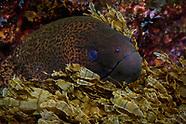 Gymnothorax javanicus (Giant Moray)