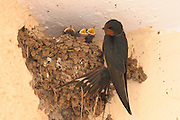 Barn Swallow (Hirundo rustica) near its nest, three young hatchling with open mouth can be seen in the nest Israel Spring April 2008