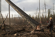 A tree faller contract by Crook Logging (based in Groveland, California), removes trees damaged during the Rim Fire in the Stanislaus National Forest along Evergreen Road near Yosemite National Park
