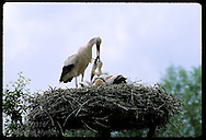 White stork (C. ciconia) regurgitates food for chicks in nest @ Stork Reintrodctn Cntr; Hunawihr France