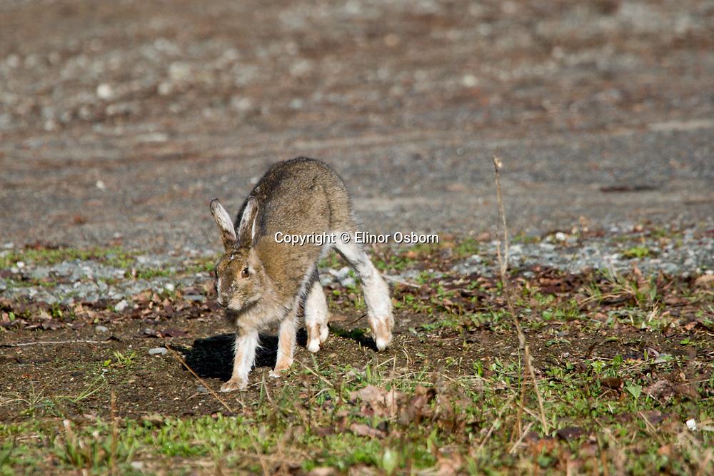 Snowshoe Hare, running
