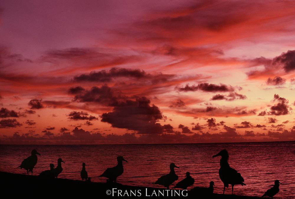 Young laysan albatross on beach at sunset, Phoebastria immutabilis, Hawaiian Leeward Islands