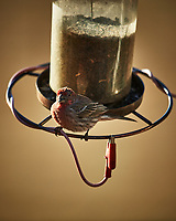 One-eyed House Finch. Image taken with a Nikon D5 camera and 600 mm f/4 VR lens (ISO 360, 600 mm, f/4, 1/1250 sec)