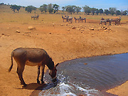 "In a land as parched as Kenya's Tsavo West National Park, no visitor arrives with more fanfare than the water man.<br /> <br /> That would be Patrick Kilonzo Mwalua. And when he rumbles down the dusty road bearing some 3,000 gallons of fresh water, the elephants, buffalo, antelope and zebras come running.<br /> <br /> They've come to know the water man by the rumble of his engine. And his lifesaving cargo. ""There is completely no water, so the animals are depending on humans,"" Mwalua said,. ""If we don't help them, they will die."" Mwalua fills the bone-dry watering holes in the region, driving for hours on end every day to haul water to where it's most desperately needed.<br /> <br /> The holes themselves, lined with concrete, often need cleaning — Mwalua blames it on buffalo droppings — and sometimes, he will just hose down an area of cracked earth for the grateful animals.<br /> <br /> ""The buffalo roll in the mud so they suffocate the fleas and ticks,"" he says. Many animals don't even wait that long, fearlessly crowding the truck as Mwalua cranks the tap.<br /> <br /> ""Last night, I found 500 buffalo waiting at the water hole,"" he says. ""When I arrived they could smell the water. The buffalo were so keen and coming close to us.<br /> <br /> ""They started drinking water while I was standing there. They get so excited."" Mwalua, who is a pea farmer in his local village, came up with the idea after seeing firsthand the grim toll climate change has taken in his native land. In the last year especially, he says, the area has seen precious little precipitation, leaving animals to die of thirst in these cracked lands.<br /> <br /> ""We aren't really receiving rain the way we used to,"" he says. ""From last year, from June, there was no rain completely. So I started giving animals water because I thought, 'If I don't do that, they will die.'"" Between road trips, Mwalua runs a conservation project called Tsavo Volunteers. The 41-year-old also visits local schools to talk to children about the wildlife that is their legacy.<br /> <br /> ""I was born around here and gre"