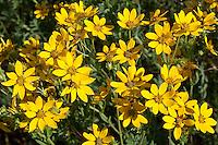 Engelmann's Daisy (Engelmannia peristenia) Mason County, Texas