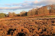 Winter landscape of deciduous trees and heather plants on heathland, Sutton Heath Suffolk, England, UK
