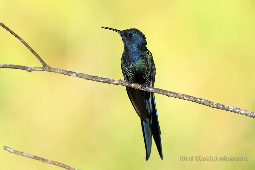 Swallow-tailed Hummingbird, Eupetomena macroura, Reserva Guainumbi, Brazil, by Adam Riley