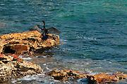 Neotropic Cormorant (Phalacrocorax o. olivaceus) drying its wings on rock at Pacheca Island shore. Las Perlas Archipelago, Panama province,  Panama, Central America.