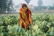 Vegetable farmer Geeta Devi (in orange), 45, a member of a Farmer's Producer Group, harvests cauliflower vegetables in her field in Machahi village, Muzaffarpur, Bihar, India on October 27th, 2016. Non-profit organisation Technoserve works with women vegetable farmers in Muzaffarpur, providing technical support in forward linkage, streamlining their business models and linking them directly to an international market through Electronic Trading Platforms. Photograph by Suzanne Lee for Technoserve