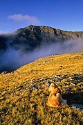 Golden retriever in morning sun below Spring Mountain, Sangre de Cristo Wilderness, San Isabel National Forest, Colorado