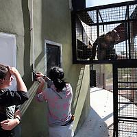 Spanje, Alicante,22 mei 2015.<br /> Stichting AAP die zich inzet voor opvang en welzijn van verwaarloosde dieren waaronder diverse apensoorten haalt nu verwaarloosde 2 tijgers en 2 leeuwen op bij een failliete circus in het plaatsje Lieusaint in de buurt van Parijs om ze vervolgens een betere toekomst te geven in opvangcentrum Primadomus in de buurt van Alicante Spanje.<br /> Op de foto: De 2 tijgers en leeuwen arriveren met de truck vanuit Frankrijk bij opvangcentrum Primadomus in de omgeving van Alicante. De kisten worden van de truck gehaald en de dieren worden geinstalleerd in hun nieuwe onderkomen. Eerst zullen ze enkele weken moeten rusten en wennen in een eerste kooi alvorens ze op een ruimer afgeschermd terrein mogen rondlopen.<br /> Op de foto: De chimpansees worden in hun buitenverblijf gelucht.<br /> <br /> <br /> <br /> Foto: Jean-Pierre Jans