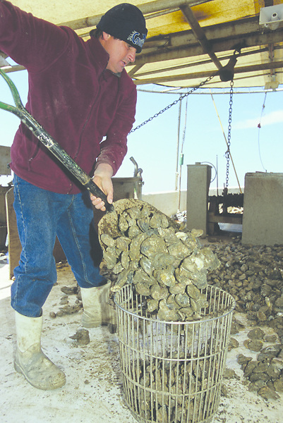 Stock photo of a man shoveling oysters into a bucket on his boat