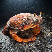 This is a spanner crab (Ranina ranina), also known as a red frog crab. It is an edible crab found in tropical and sub-tropical waters. These crabs burrow into the sand rear-first, where they stay camouflaged with only their eyes protruding. They come out to scavenge for food. Unlike other crabs, this species walks in a forward direction. Though this crustacean is harvested for food, there is little known about this species' ecology. It is the only species extant in its genus.