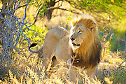 A male lion stands while looking camera left, backlit with golden morning light.