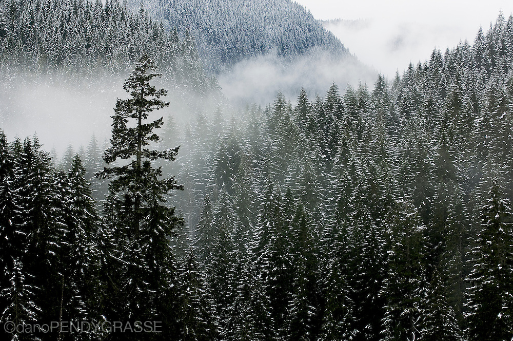 An early season storm clings to the snow covered forest near Glacier, Washington.