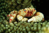 A reef crab, Pseudoliomora sp.,  nestled in an antler coral.
