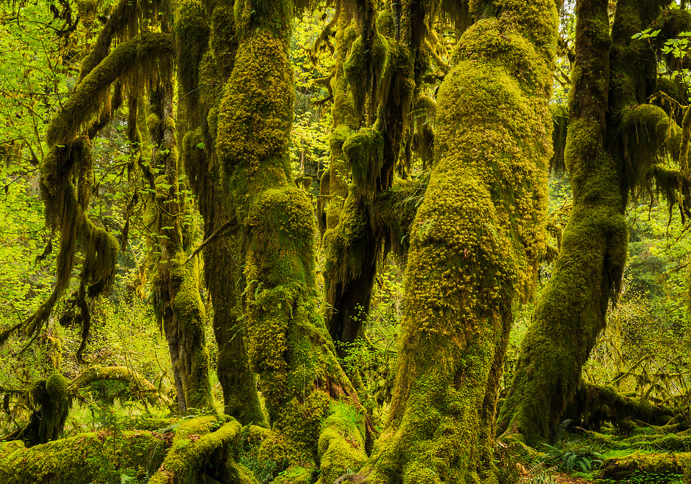 Large, moss covered vine maples in the Hoh Rainforest, Hall of Mosses, Olympic National Park, Washington