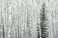 Photographed in late autumn in softly falling snow, a solitary spruce is set against a sea of aspen. The Boreal Forest of northern Canada is perhaps the best and largest example of a largely intact forest ecosystem. Canada's Boreal Forest alone stores an amount of carbon equal to ten times the total annual global emissions from all fossil fuel consumption.