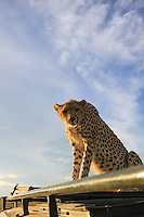 Kenya - Maasai Mara - Cheetah - Acinonyx jubatus - This female cheetah used the roof of my vehicle as a vantage point and while taking this picture with my wide angle lens she saw herself reflecting on the glass.