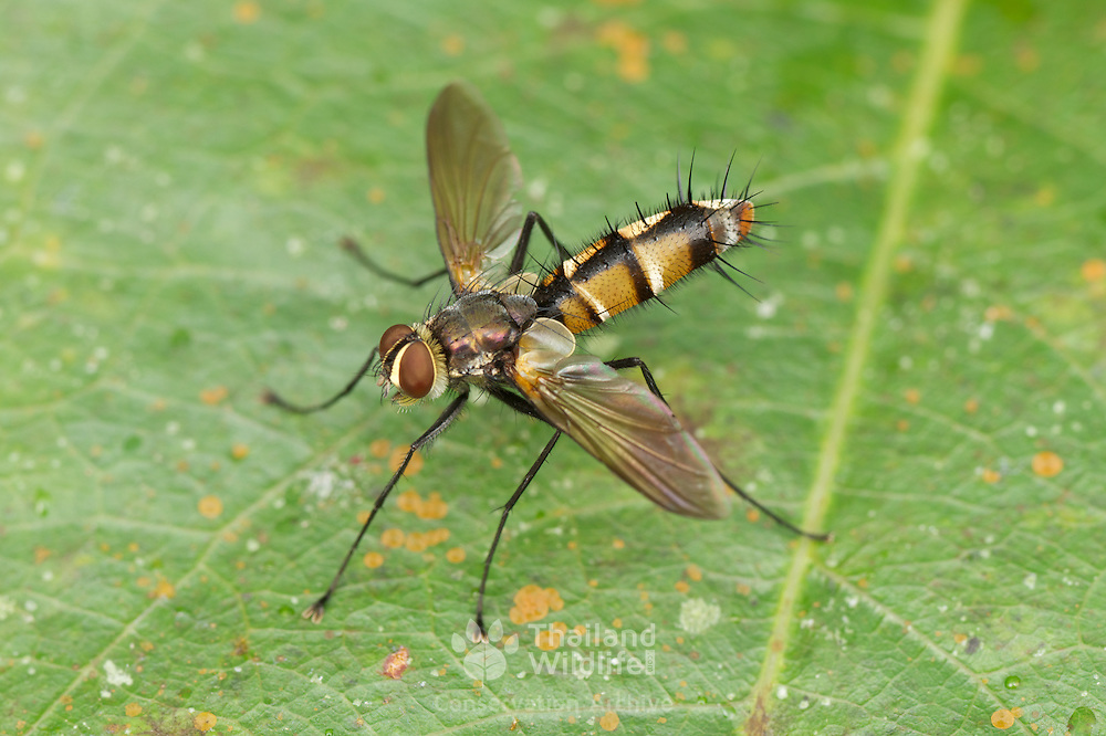 Tachinidae is a large and rather variable family of true flies within the insect order Diptera, insects in this family are commonly called tachina flies or simply tachinids. As far as is known, they all are Protelean parasitoids, or occasionally parasites, of Arthropoda.