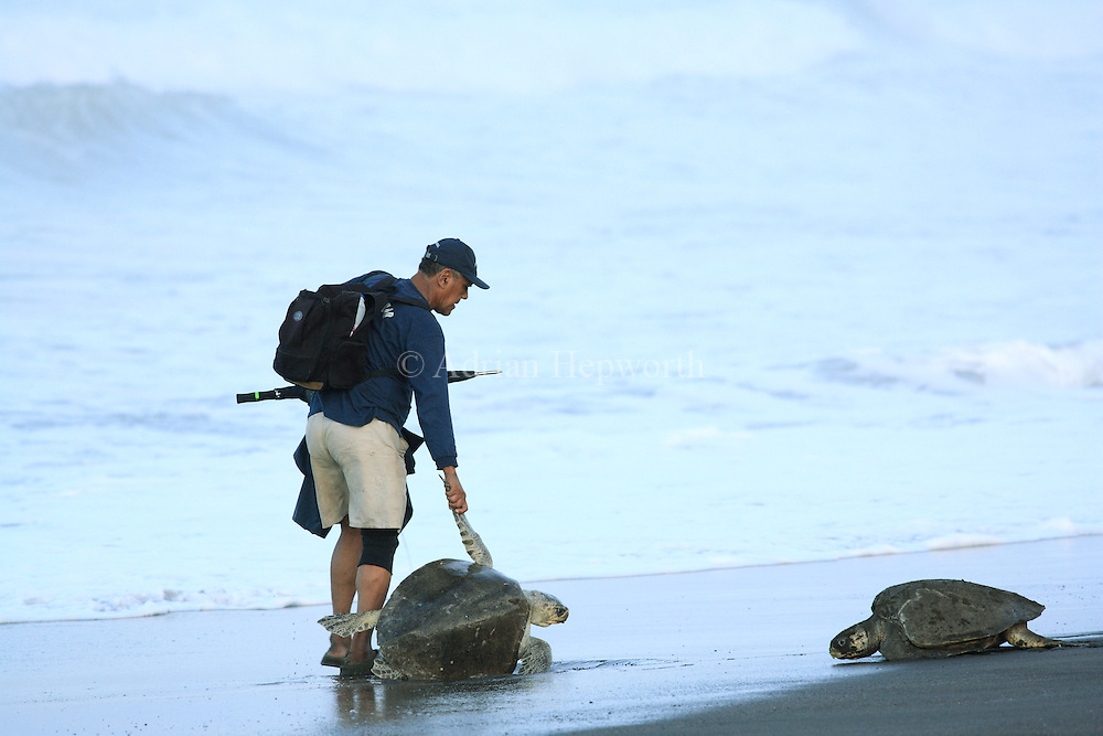 Villager helps a female Olive Ridley Turtle (Lepidochelys olivacea) that was overturned by a wave during an arribada in Ostional, Guanacaste, Costa Rica. <br />