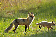 Red fox (Vulpes vulpes)  vixen and pup<br />