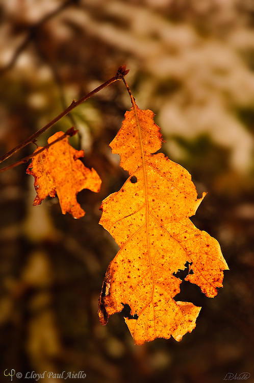 A pair of Oak leaves cling to their branches long into a New England winter