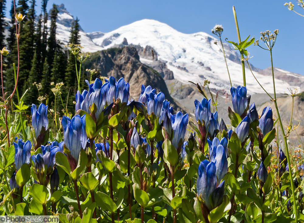 Gentian flowers bloom on the Wonderland Trail to Summerland in Mount Rainier National Park, Washington, USA. Mount Rainier rises to 14,411 feet elevation.