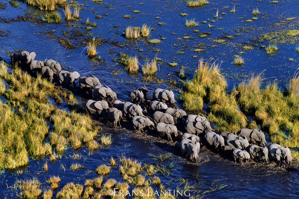 African elephant herd crossing swamp, Okavango Delta, Botswana
