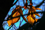 Orange and brown autumn coloured leafs